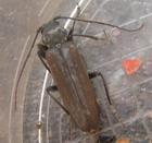 Largelonghorn beetle 1