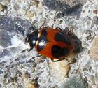 High country ladybird2