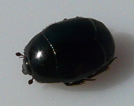 File:Hister beetle sp. 2 (3).jpg
