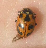 Parenthesis ladybird5