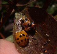 Harlequin ladybird 14