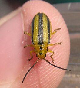 Goldenrod leaf beetle