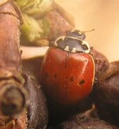 Two-spotted ladybird form 2