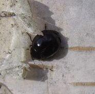 Harlequin ladybird 3