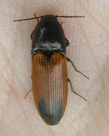Ampedus apicatus
