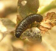 Goldenrod leaf beetle larva