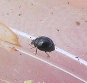 Microladybird1