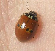 Two-spotted ladybird form 3