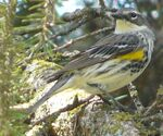 Yellow-rumped Warbler male Myrtle