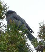 Grey Jay juvenile