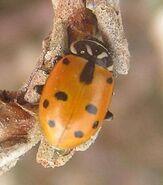 Sinuate ladybird 3