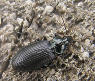 Groundbeetle1