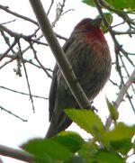 House finch male 2