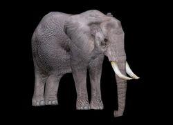 African Elephant WP2 Profile