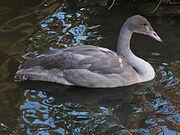 Juvenile Trumperter Swan