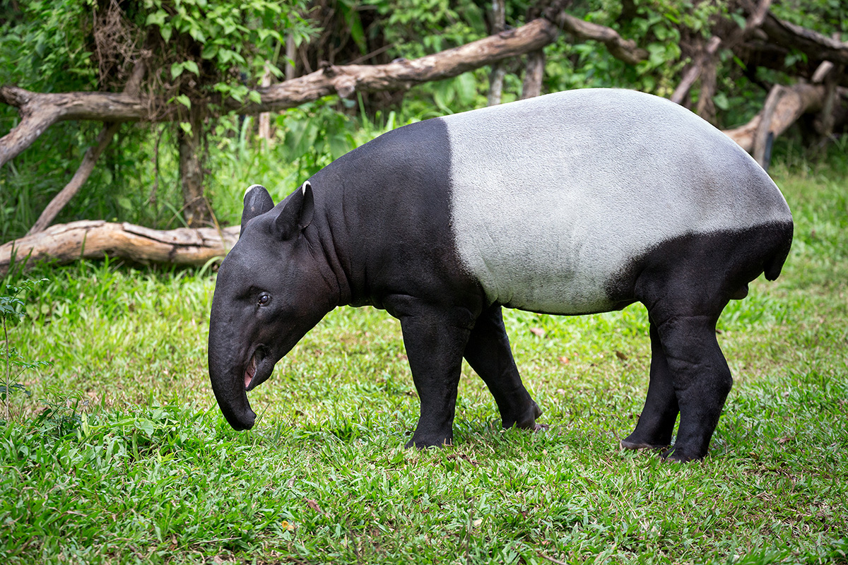 Tapir | Wild Thornberrys Wiki | FANDOM powered by Wikia