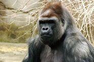 Gorilla (1)