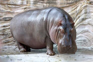 Hippo in Real-Life