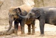 Elephas-maximus1
