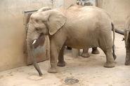 Loxodonta-africana-africana4