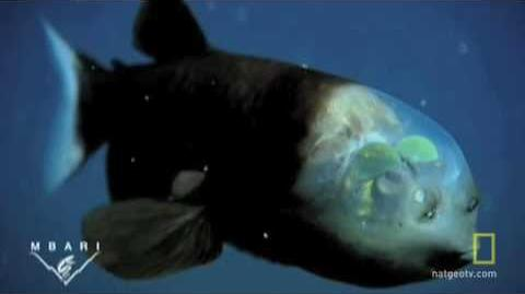 A Fish With a See-Through Head and Rotating Eyes