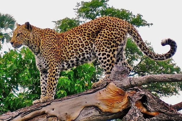 0f5cf7face Leopard