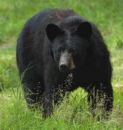 Bear grass