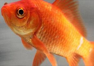 800px-Common goldfish-1-
