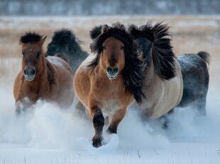 Yakut horses