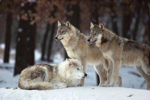 Wolfy's Friend