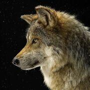 Gray-wolf thumb