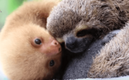 Baby-Two-Toed-Sloth-vs.-Baby-Three-Toed-Sloth-Is-The-Cutest-Animal-Lesson-Ever-VIDEO