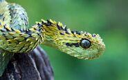 Bush-viper-snake.jpg.cf