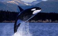 Orca-orca-the-killer-whale-35737428-1600-1000