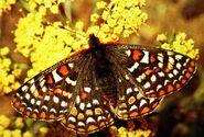 Silverspotbutterfly