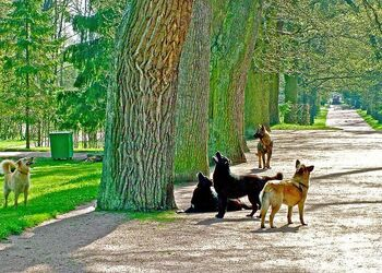 Dogs-barking-up-the-wrong-tree-at-catherines-palace-and-park-in-pushkintown-russia-ruth-hager