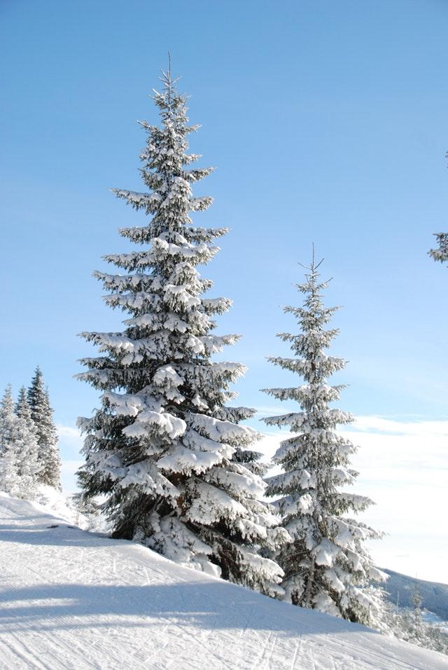 Fir-pine-sky-87477