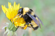 Bumble-bee-for-web