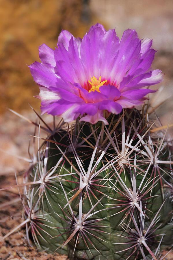 1-pink-cactus-flower-saija-lehtonen