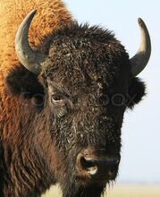 1810106-close-up-buffalo-askania-nova-ukraine