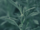 Forsythia (Copperrose14)