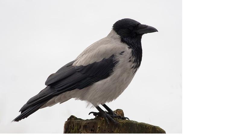 Картинка ворона с надписью