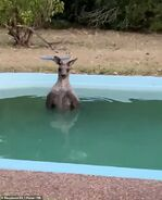 22548486-7818499-A New South Wales resident was surprised to find a kangaroo tryi-a-10 1576997333143