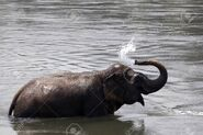 25650256-an-elephant-playing-and-splashing-water-to-itself