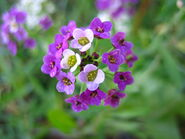 Alyssum-Purple-Wedding-Flowers