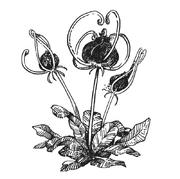 Diadem Herb