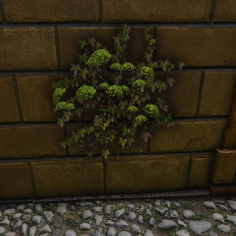Wild grown Nostrix on house in <a href=