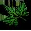 Tw3 fools parsley leaves