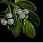 Tw3 mistletoe