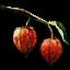 Tw3 winter cherry
